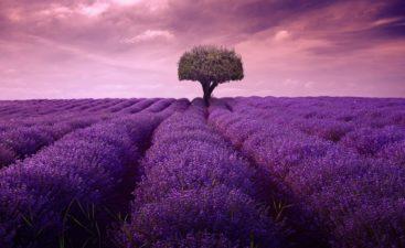 lavender-4222480_1920